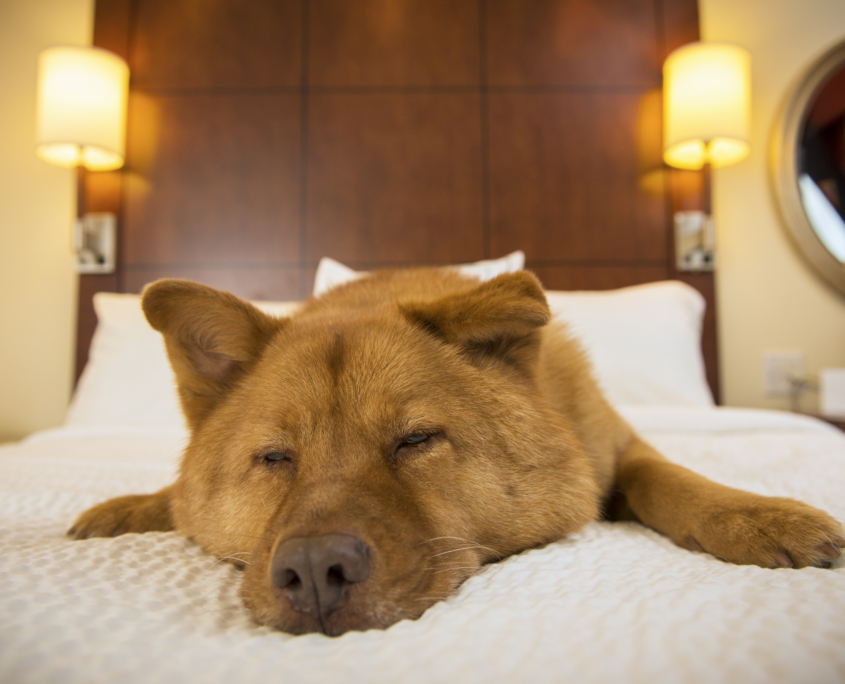 Dog Sleeping in a hotel room in Antibes during an in-room sitting with Dog Nanny Riviera