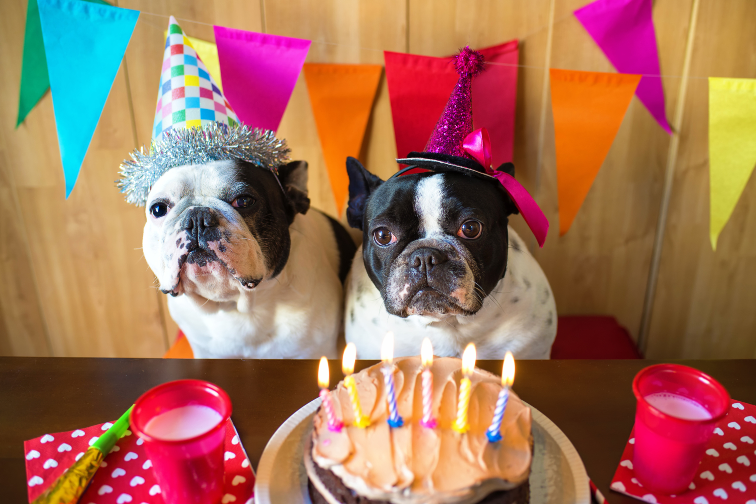 Birthday of a couple of french bulldogs in Cannes, organized by Dog Nanny Riviera