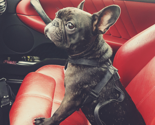 Transportation by car of a French Bulldog with seat belt