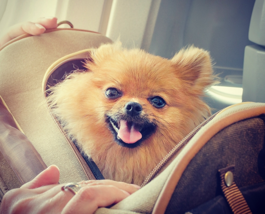 Dog Nanny Riviera, Travel Companion of a Spitz in a plane